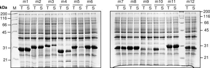 Expression and solubility analysis of 12 randomly selected clones obtained after transfer of MTBLIB42C02 in pVMH10D-BAP001 expression vector. Twelve randomly selected clones were subjected to auto-induction at 18°C and solubility was assayed using PopCulture assay. The total cell (T) and soluble (S) fractions were analyzed using SDS-PAGE.