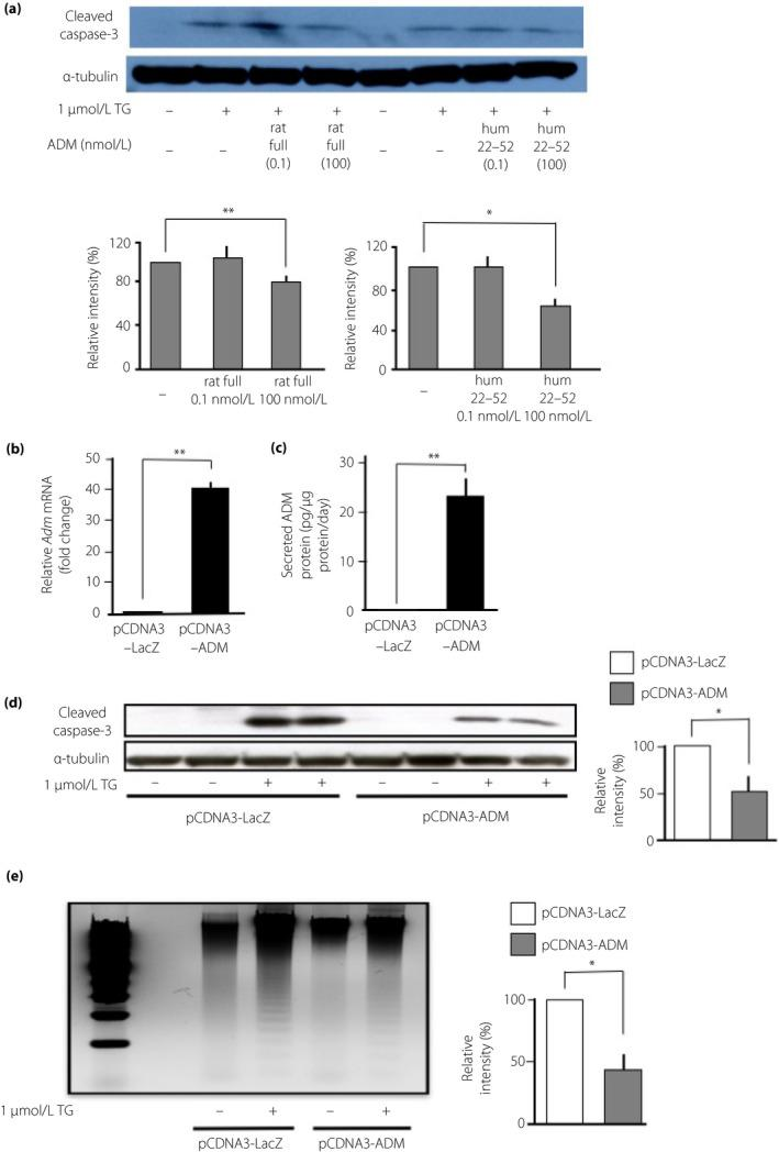 Adrenomedullin (ADM) protects MIN6 cells from thapsigargin (TG)‐induced apoptosis. (a) MIN6 cells were cultured for 24 h with rat full‐length ADM peptide or human partial ADM peptide (hum 22–52) at 0.1 or 100 nmol/L in the presence or absence of 1 μmol/L TG. After the culturing, cleaved caspase 3 levels were determined. α‐Tubulin was used as the protein loading control. All data are presented as the mean ± standard error of the mean of four or five independent experiments. Welch's t ‐test: * P