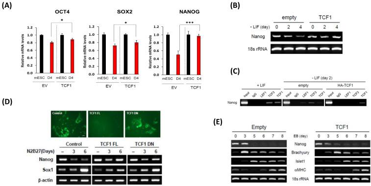 Ectopic expression of Tcf1 maintains self-renewal and delays differentiation of ES cells. (A) mRNA expressions for Oct4, Sox2 and Nanog at ES cells stage and Day 4 of differentiation upon TCF1 overexpression were determined by using qPCR. RNA was isolated from cells expressing empty vector (EV) or Tcf1-FL (TCF1) on specified stage. GAPDH was used for normalization. (B) The amount of Nanog transcript was measured by RT-PCR analysis. RNA was isolated from ES cells expressing control vector or Tcf1-FL on the days specified. 18s rRNA was used as a loading control. (C) ChIP assay was performed to examine the binding of Tcf1, Lef1, and Tcf3 on Nanog promoter. Samples for ChIP were isolated from ES cells grown with LIF and from ES cells expressing control vector or Tcf1-FL cultured for 2 days without LIF. For immunoprecipitiation, endogenous antibody against Tcf1, Lef1, or Tcf3 was used. (D) To differentiate into neural precursors, 46C ES cells expressing control vector, Tcf1-FL, or Tcf1-DN were plated for 6 days in N2B27 medium. GFP fluorescence showed that 46C ES cells expressing control vector or Tcf1-DN, but not Tcf1-FL effectively differentiated into neural precursor (upper panel). The amount of Nanog or Sox1 transcript on the days indicated was measured via RT-PCR analysis (lower panel). β -actin was used as a loading control. (E) RNA samples were isolated from A6P10 ES cells expressing control vector or Tcf1-FL on the days indicated after EB formation. Self-renewal (Nanog), mesoderm (Brachyury), and cardiomyocyte (Islet1, α MHC) markers were used for RT-PCR analysis.