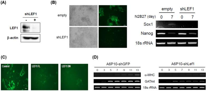 Transient expression of Lef1 is required for proper differentiation. (A) A6P10 ES cells were infected with retroviruses expressing control or Lef1 shRNA, followed by selection using puromycin. After 2 days without LIF, the selected ES cells were harvested and analyzed by western blotting with anti-Lef1 antibody. β -actin was used as a loading control. (B) 46C ES cells expressing control shRNA or Lef1 shRNA were plated for 7 days in N2B27 medium. GFP fluorescence indicating a neural precursor was not induced in shLef1-46C cells (left panel). The amount of Nanog or Sox1 transcript was measured by RT-PCR analysis (right panel). (C) 46C ES cells were transfected with control vector, Lef1-FL, or Lef1-DN and then selected using Zeocin. 46C ES cells expressing each vector were plated for 7 days in N2B27 medium and GFP fluorescence was captured. (D) RNA samples were isolated from A6P10 ES cells expressing shGFP or shLef1 on the days indicated post-EB formation. Cardiomyocyte ( α -MHC) and endoderm (GATA4) markers and loading control (18s rRNA) were used for RT-PCR analysis.