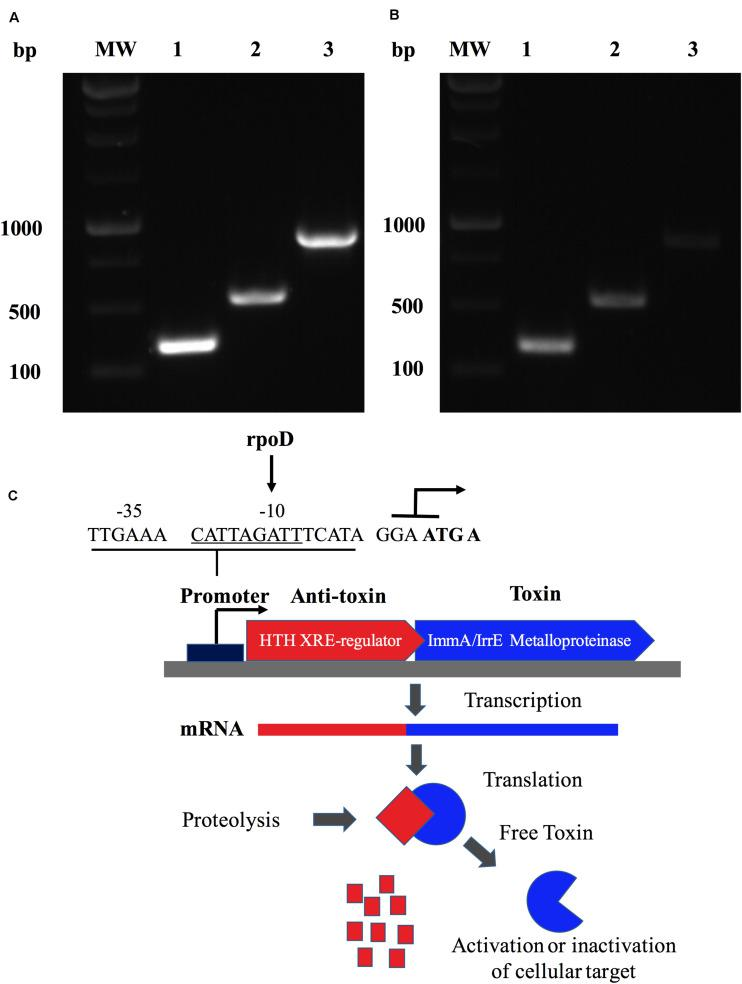 A Zinc-dependent metalloproteinase of B. abortus is an operon that forms a putative type II toxin-antitoxin. Identification of the transcriptional unit (operon) constituted by ORF BAB1_0270 and a transcriptional regulator in B. abortus 2308 expressed in (A) the genomic DNA and (B) the cDNA from total RNA. MW: Molecular weight; lane 1: Transcriptional regulator (357 bp); lane 2: BAB1_0270 (549 bp); and lane 3: operon constituted by ORF BAB1_0270-transcriptional regulator (906 bp). (C) Hypothetical Type II toxin-antitoxin (TA) model for operon constitute by ZnMP and transcriptional regulator. Toxin (ZnMP) and anti-toxin (transcriptional regulator) are transcribed to mRNA together. Proteases are activated under stress conditions, cleaving the anti-toxin, which increases the levels of toxin-free, inducing various biological functions in bacteria. Predicted promoter at site -35 and -10 binding by RNA polymerase sigma factor rpoD. ATG A: nucleotides shared between final part of transcriptional factor and metalloproteinase codified for ORF BAB1_0270.