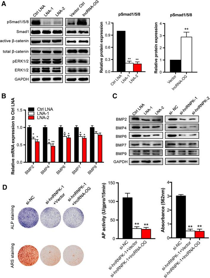 Osteogenesis‐associated long noncoding RNA (lncRNA‐OG) regulates the expression of bone morphogenetic protein (BMP) family proteins by interacting with hnRNPK. (A): Expression analysis of BMP signaling, β‐catenin/WNT signaling and ERK1/2/MAPK signaling following lncRNA‐OG knockdown and overexpression in bone marrow‐derived mesenchymal stem cells (BM‐MSCs) by Western blotting. GAPDH was used as the internal control (left panel). Quantification of pSmad1/5/8 band intensities (right panel). (B): Related mRNA levels of BMP2 , BMP4 , BMP6 , BMP7 , and BMP9 after lncRNA‐OG knockdown on day 7 of osteogenic differentiation. Data were normalized to GAPDH. (C): Expression of BMP family proteins following lncRNA‐OG and hnRNPK knockdown respectively in BM‐MSCs by Western blotting. GAPDH was used as the internal control. (D): Left: alkaline phosphatase (ALP) staining on day 7 (upper panel), alizarin red (ARS) staining on day 14 after osteogenic induction (lower panel). Right: ALP activity was determined as units per gram of protein per 15 minutes. ARS staining was quantified as the absorbance at 562 nm. Data are presented as the mean ± SD. *, p