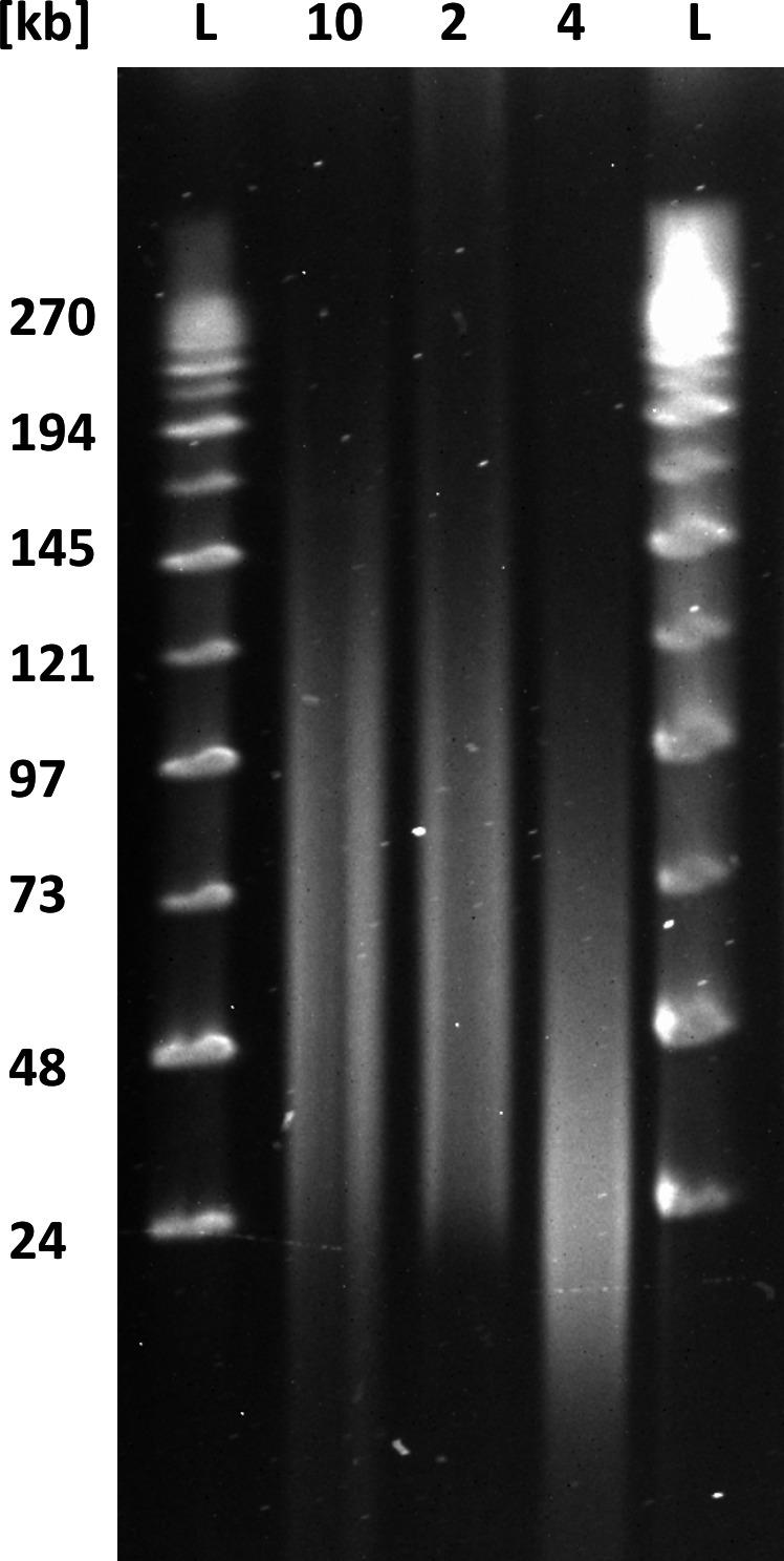 Purposeful mechanical shearing and high‐pass filtering alter DNA fragment length distribution. Pulsed‐field gel electrophoresis of differently treated DNA samples. Lane #1 and #5 (L) MidRange II PFG marker (BioLabs). Lane #2 (sample 10) DNA extracted following the default HMW DNA extraction protocol (mean read length of 13 kb as shown in Table 4 ). Lane #3 (sample 2) same DNA extraction as in #2 followed by size selection with the BluePippin using 20 kb high‐pass filtering (a mean read length of 26 kb as shown in Table 4 ). Lane #4 (sample 4) same DNA extraction as in #2 followed by mechanical shearing with a g‐TUBE (a mean read length of 11.8 kb as shown in Table 3 )