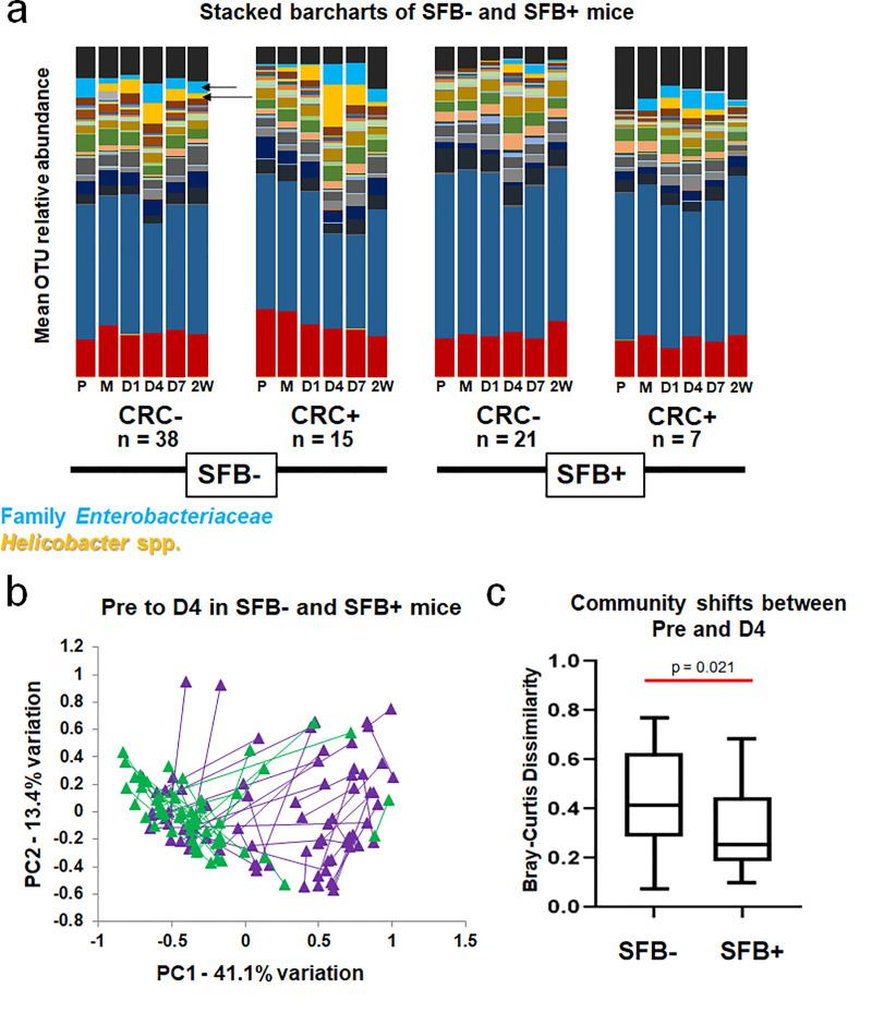 SFB stabilizes the GM and prevents large shifts in GM structure following Helicobacter spp. inoculation. A) Relative abundance of OTUs within CRC+ and CRC- mice in SFB- and SFB+ groups, shown as group means at pre-inoculation (P), after the first inoculation (M), and at day 1 (D1), D4, D7, and two weeks (2W) PI. Yellow-orange represents Helicobacter spp. (including Helicobacter ambiguous taxa and Helicobacter uncultured bacterium ) and light blue represents Family Enterobacteriaceae (more specifically denoted as Escherichia-Shigella Escherichia sp.). These are indicated by arrows. B) Principal Component Analysis (PCA) of Pre and D4 samples of each mouse in SFB+ (green) and SFB- (purple) groups. Length of line denotes overall change in composition from Pre to D4 in each mouse. C) Mean (±SD) shifts in GM community shown in B, using Bray-Curtis Dissimilarity Index. Mann-Whitney Rank Sum test p = 0.021.