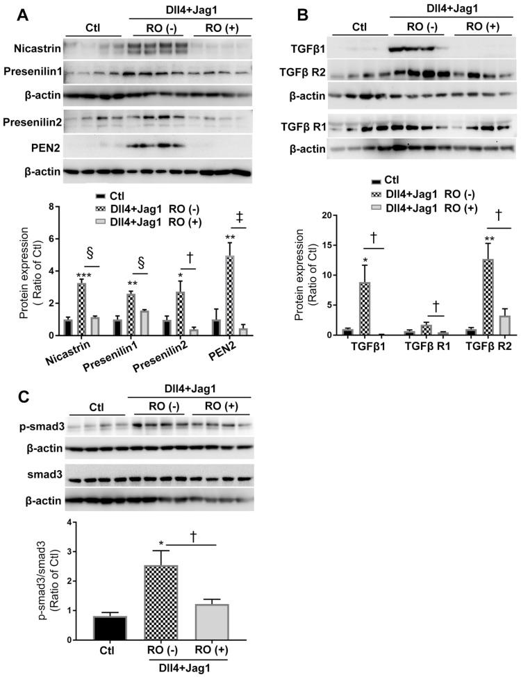 RO4929097 (RO) inhibits Notch and TGFβ signalling in Müller cells stimulated by Notch ligands. MIO-M1 human Müller cells were cultured in normal (control, Ctl) and test media containing Notch ligands including Dll4 and Jagged1 (both 50 ng/ml), either with or without RO (10 μM) for 18 hours. (A) Treatment of Müller cells with Dll4 and Jag1 upregulated the expression of γ-secretase proteinases including nicastrin, presenilin 1 and 2 as well as presenilin enhancer 2 (PEN2), all of which were significantly inhibited by the selective γ-secretase inhibitor RO. (B and C) Treatment of Müller cells with Dll4 and Jag1 also upregulated the expression of TGFβ1, TGFβ receptors 1 and 2 (TGFβ R1 and TGFβ R2, ( B ) and p-Smad3 ( C ), all of which were significantly inhibited by RO treatment. *P