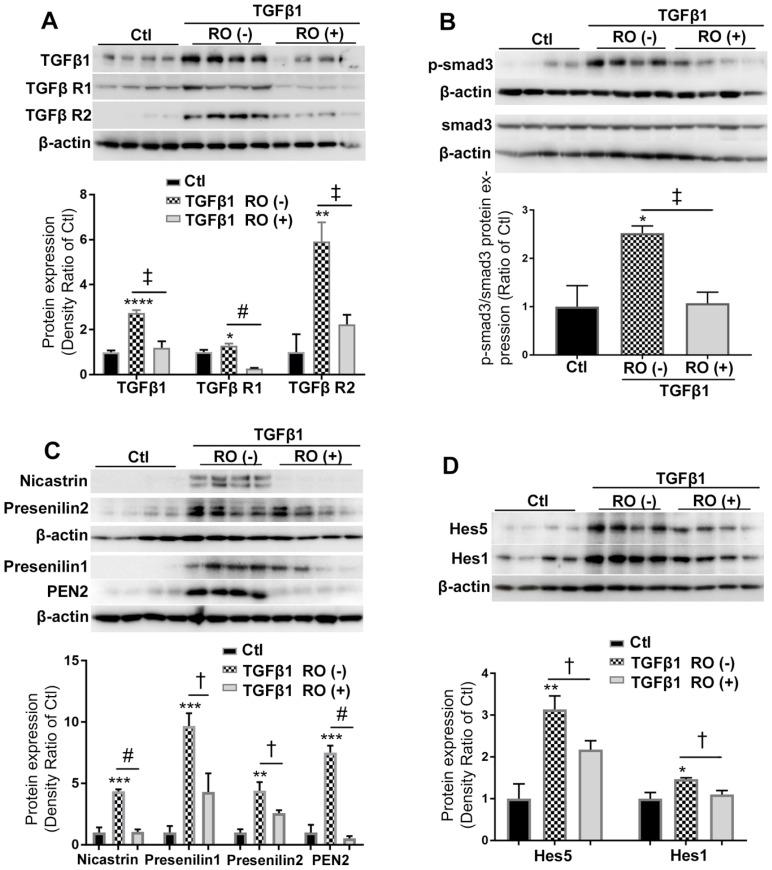RO4929097 (RO) inhibits TGFβ and Notch signalling in Müller cells stimulated by TGFβ1. Müller cells were cultured in normal (control, Ctl) and test media supplemented with recombinant human TGFβ1 (10 ng/ml), with or without RO (10 μM) for 18 hours. (A and B) TGFβ1 treatment upregulated expression of TGFβ receptors including TGFβ R1 and 2, endogenous TGFβ1 (A) and p-Smad3 (B) while this effect was significantly inhibited by RO. (C and D) TGFβ1 also significantly upregulated expression of γ-secretase proteinases including nicastrin, presenilin 1 and 2, presenilin enhancer 2 (PEN2) as well as Notch downstream effectors including Hes1 and Hes5, while this effect was inhibited by RO treatment. *P