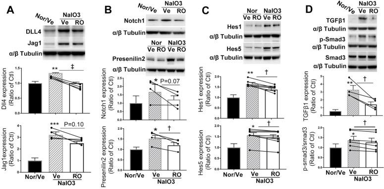 Intravitreal injection of RO4929097 (RO) inhibits Notch and TGFβ signalling in mice with NaIO 3 -induced retinal damage. Mice received intravitreal injections of RO or vehicle (Ve) immediately after NaIO 3 -induced retinal damage and data analyses were conducted 5 days later. (A-D) Western blot analyses of Notch signalling proteins including Notch ligands Dll4 and Jagged1 (A) , Notch receptor 1 and γ-secretase presenilin 2 (B) , Notch downstream effectors including Hes1 and Hes5 (C) as well as TGFβ signalling proteins including TGFβ1 and p-Smad3 (D) . *P