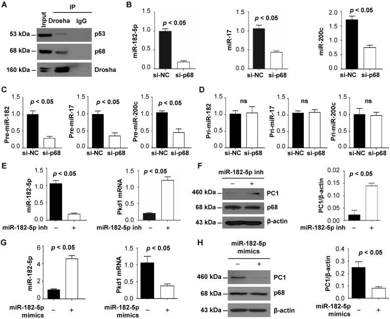 p68 regulates Pkd1 expression by miR-182-5p mediated post-transcriptional repression. ( A ) The interaction between Drosha and p53 (top panel) and between Drosha and p68 (middle panel) was detected in mIMCD3 cells with anti-Drosha antibody followed by blotting with p68 and p53. IgG was used as a negative control. ( B to D ) The expression of miR-182-5p, miR-17 and miR-200c, pre-miR-182-5p, pre-miR-17 and pre-miR-200c, and pri-miR-182-5p, pri-miR-17 and pri-miR-200c in mIMCD3 cells transfected with p68 or control siRNA examined by qRT-PCR analysis. ( E , F ) The levels of Pkd1 mRNA and PC1 protein in mIMCD3 cells treated with a miR-182-5p inhibitor examined by qRT-PCR and Western blot analysis. ( G, H ) The levels of Pkd1 mRNA and protein were examined by qRT-PCR ( G ) and Western blot analysis ( H ) in mIMCD3 cells treated with a miR-182-5p mimics.