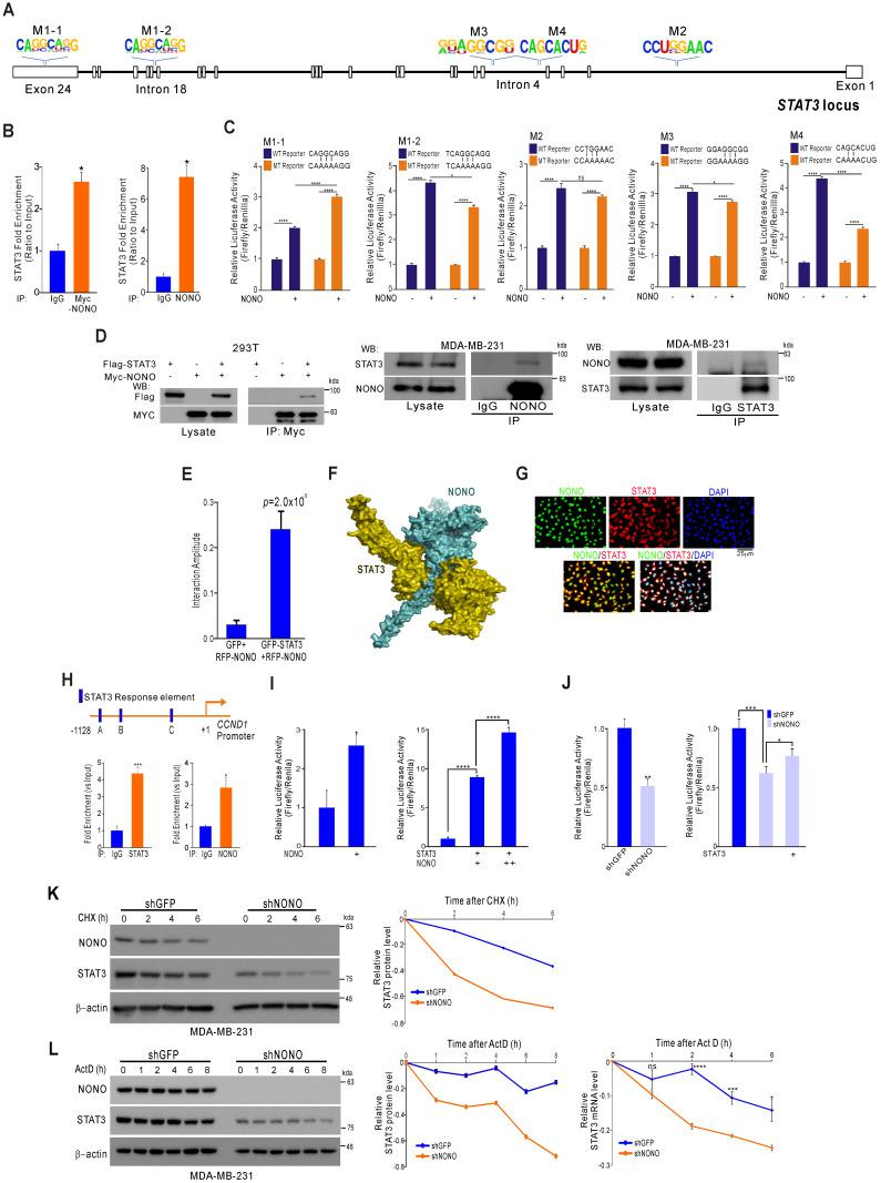 NONO directly mediates STAT3 function in TNBC cells (A) Alignment of the STAT3 locus sequence. (B) RNA-IP was performed with anti-Myc ab or endogenous NONO ab in Myc-NONO-overexpressing MDA-MB-231 cells or MDA-MB-231 cells. After RNA-IP, the cells were analyzed by qRT-PCR with the indicated probes. (C) A dual-luciferase assay in HEK293T cells, which harbored a luciferase reporter vector containing the wild or mutant-type sequence of STAT3 locus. Luciferase activities were measured after transfecting the indicated constructs. (D) HEK293T cells were transfected with Flag-STAT3 or Myc-NONO alone or in combination. The cells were then lysed and co-immunoprecipitated with Myc ab, and western blotting was performed with Myc and Flag antibodies (left panel). MDA-MB-231 cell lysates were immunoprecipitated with IgG and NONO (center panel) and STAT3 (right panel) antibodies, and western blotting was performed with STAT3 and NONO antibodies. (E) Protein interaction amplitudes based on the correlation functions obtained in the cells co-expressing GFP and RFP (F) Computational docking model for human NONO (cyan) and STAT3 (olive) predicted using ClusPro 17 (see Materials and Methods). (G) Cell localization of NONO and STAT3 in MDA-MB-231 cells. The cells were immunostained with the indicated antibodies and visualized using microscopy. (H) Schematic of the CCND1 promoter region. ChIP assays were performed in MDA-MB-231 cells using a STAT3 or NONO antibody. Recruitment of NONO to the CCDN1 promoter via STAT3 was analyzed using primers specific to this promoter. IgG was used as an internal control. (I) Dual‐luciferase reporter gene assay to determine the STAT3 activity level following transfection of NONO, STAT3, and a STAT3-reporter into HEK293T cells. (J) The STAT3-reporter was transfected into shNONO (or shGFP) infected MDA-MB-231 cells and rescued by STAT3 re-introduction. The cells were then used to measure luciferase activity. (K and L) MDA-MB-231 cells were stably transfect