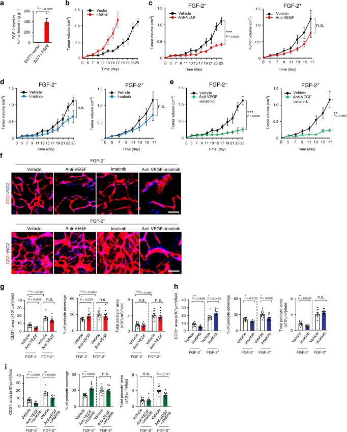 Growth rates and angiogenesis in various drug-treated FGF - 2 + and control breast cancers. a ELISA measurement of FGF-2 levels in E0771-vector ( n = 3) and E0771-FGF-2 tumor tissues ( n = 4). P = 0.0032. b Tumor growth of E0771-vector and E0771-FGF-2 ( n = 5, 6). c Tumor growth of vehicle- and anti-VEGF-treated E0771-vector ( n = 5,6; P = 0.0002). Tumor growth rates of vehicle- and anti-VEGF-treated E0771-FGF-2 ( n = 6). d Tumor growth of vehicle- and imatinib-treated E0771-vector ( n = 5). Tumor growth rates of vehicle- and imatinib-treated E0771-FGF-2 ( n = 6). e Tumor growth of vehicle- and anti-VEGF plus imatinib-treated E0771-vector ( n = 5, 6; P = 0.0001). Tumor growth rates of vehicle- and anti-VEGF plus imatinib-treated E0771-FGF-2 ( n = 6, 8; P = 0.0010). f CD31 + microvessels (red) and NG2 + pericytes (blue) in various drug-treated E0771-vector and E0771-FGF-2 cancers. Bar = 50 μm. g Quantification of microvessels ( n = 10 each; P (Vehicle-treated-vector vs anti-VEGF-treated-vector) = 0.0009), pericyte coverage ( n = 9/9/11/12; P (Vehicle-treated-vector vs anti-VEGF-treated-vector) = 0.0374) and pericyte area ( n = 9/9/10/12) of vehicle- and anti-VEGF-treated E0771 vector and E0771-FGF-2. h Quantification of microvessels ( n = 10/11/10/10; P (Vehicle-treated-vector vs imatinib-treated-vector) = 0.0009; P (Vehicle-treated-FGF-2 vs anti-VEGF-treated-FGF-2) = 0.0453), pericyte coverage ( n = 9/9/11/11; P (Vehicle-treated-vector vs imatinib-treated-vector) = 0.0120; P (Vehicle-treated-FGF-2 vs imatinib-treated-FGF-2) = 0.0103) and pericyte area ( n = 9/11/10/11; P (Vehicle-treated-vector vs imatinib-treated-vector) = 0.0038) of vehicle- and imatinib-treated E0771-vector and E0771-FGF-2. i Quantification of microvessels ( n = 10/9/10/10; P (Vehicle-treated-vector vs combination-treated-vector) = 0.0006; P (Vehicle-treated-FGF-2 vs combination therapy-treated-FGF-2) = 0.0009), pericyte coverage ( n = 9/9/11/9; P (Vehicle-treated-vector vs combination-treated-ve