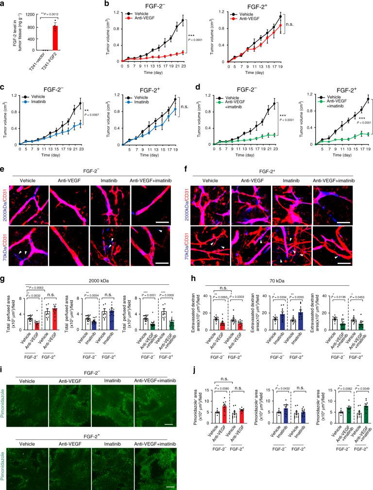 Tumor growth rates, vascular function, and hypoxia in various drug-treated FGF - 2 + and control fibrosarcomas. a Expression levels of FGF-2 protein in T241-vector and T241-FGF-2 tumors ( n = 3; P (Vector vs FGF-2) = 0.0012). b Tumor growth of vehicle- and anti-VEGF-treated T241-vector ( n = 7, 10) and T241-FGF-2 ( n = 6; P (Vehicle-treated-vector vs anti-VEGF-treated-vector)