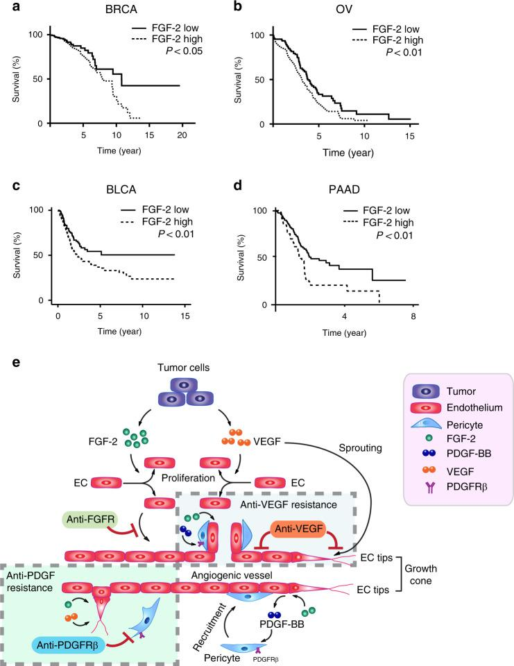 Survival correlation and schematic diagram of underlying mechanisms of synergistic anti-FGF-2 + tumor activity by combination therapy. a Kaplan–Meier survival of FGF-2-high vs. FGF-2-low breast cancer (BRCA, n = 246 vs. 267; P = 0.0458); b ovarian cancer (OV, n = 131 vs. 129; P = 0.0097); c bladder carcinoma (BLCA, n = 261 vs. 141; P = 0.007); d and pancreatic adenocarcinoma (PAAD, n = 57 vs. 120; P = 0.003). The log-rank test was used for statistical analysis at the endpoint. Source data are provided as a Source Data file. e Tumors often produce FGF-2 and VEGF to stimulate tumor angiogenesis. While VEGF stimulates endothelial cell proliferation, migration, and endothelial cell tip formation, FGF-2 primarily induces endothelial cell proliferation. In FGF-2 positive tumors, blocking FGF-2-triggered signaling such as inhibition of FGFR inhibits endothelial cell proliferation and angiogenesis. However, the impact of anti-FGF agents on tumor angiogenesis may be modest because tumors employ VEGF to stimulate neovascularization. Thus, VEGF plays a compensatory role in circumventing the antiangiogenic effect by FGF-2. Similarly, blocking VEGF alone in FGF-2 positive tumors may also produce a limited antitumor effect because of the compensatory effect of FGF-2. In addition, FGF-2 is a potent perivascular factor to stimulate pericyte proliferation and vascular coverage through an intimate collaboration with the PDGF-B-PDGFRβ signaling pathway. Blocking PDGFRβ alone would lead to ablation of perivascular cells from tumor vessels, permitting exposure of endothelial cells to vascular stimuli such as FGF-2 and VEGF. In supporting this view, we show that anti-PDGFRβ increases rather than reduces vascular density in FGF-2 positive tumors. Simultaneous blocking VEGF and PDGFRβ signaling pathways inhibits vascular sprouting and vascular stability, leading to vascular regression in FGF-2 positive tumors.