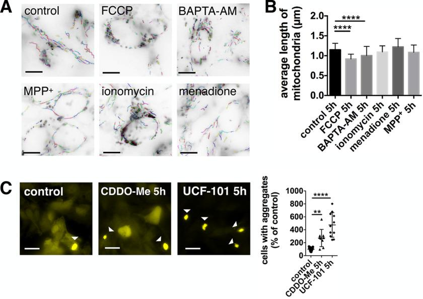 Inhibition of mitochondrial proteases increases α-synuclein pathology. A and B, quantification of mitochondrial fragmentation after 5 h treatment with 10 μ m FCCP, 10 μ m BAPTA-AM, 500 μ m MPP + , 1 μ m <t>ionomycin,</t> and 3 μ m menadione. The mitochondrial length was significantly decreased after treatment with FCCP and BAPTA-AM. Scale bars : 10 μ m . Data are presented as mean ± S.D. ****, p