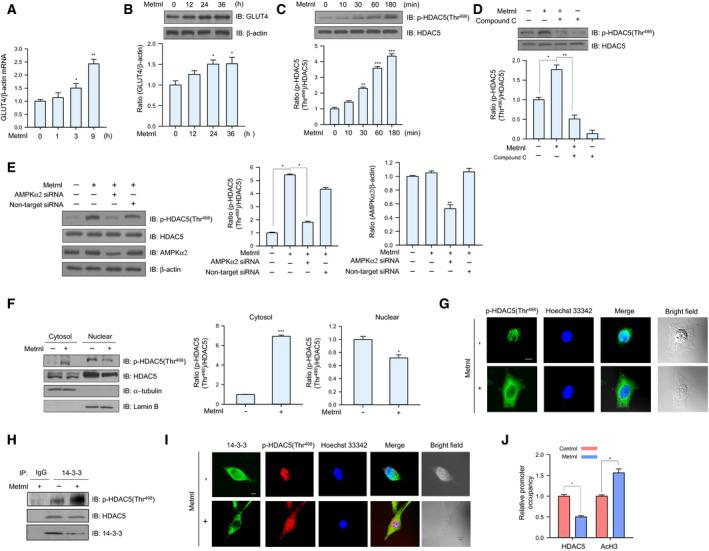 Metrnl increased GLUT4 expression by stimulating HDAC5 phosphorylation. (A) Total mRNA from C2C12 myoblasts was prepared after metrnl (100 ng·mL −1 ) treatment for the indicated times, and real‐time qRT‐PCR was performed using GLUT4‐specific primers, with β‐actin mRNA as the positive control. (B) C2C12 myoblasts were treated with metrnl (100 ng·mL −1 ) for the indicated times. The cell lysates were analyzed by western blotting using anti‐GLUT4 antibody, with β‐actin as the control. (C) Time‐dependent phosphorylation of HDAC5 after metrnl treatment. C2C12 myoblasts were incubated with metrnl (100 ng·mL −1 ) for the indicated times. Cell lysates were analyzed by western blotting using anti‐phospho‐HDAC5 (Thr 498 ) antibody, with HDAC5 as the control. (D) C2C12 myoblasts were pre‐treated with compound C (10 μ m ) and then treated with metrnl (100 ng·mL −1 ). Cell lysates were analyzed by western blotting using anti‐phospho‐HDAC5 (Thr 498 ) antibody, with HDAC5 as the control. (E) C2C12 myoblasts were transiently transfected with AMPKα2 siRNA or non‐target siRNA. Cell lysates were analyzed by western blotting using antibodies against phospho‐HDAC5 (Thr 498 ), AMPKα2, and HDAC5, with β‐actin as the controls. (F) C2C12 myoblasts were treated with metrnl (100 ng·mL −1 ). Cytosolic and nuclear proteins were extracted from the cells. HDAC5 phosphorylation was evaluated by western blot analysis, with HDAC5 as the control. Western blotting was performed on nuclear and cytosolic fractions to detect nuclear (lamin B) and cytosolic (α‐tubulin) marker proteins. (G) Representative images of phospho‐HDAC5 treated with metrnl for 30 min. Scale bars, 10 μm ( n = 5). (H) C2C12 myoblasts were immunoprecipitated with anti‐14‐3‐3 antibody, followed by western blotting using anti‐phospho‐HDAC5, HDAC5, and 14‐3‐3 antibodies. (I) Representative images (phospho‐HDAC5 and 14‐3‐3 objective images) of cells treated with metrnl for 1 h. Scale bars, 10 μm ( n = 5). (J) The relative occupancy of HD