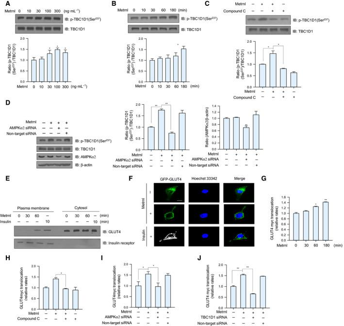 Metrnl stimulated GLUT4 translocation by AMPK‐induced TBC1D1 phosphorylation. (A) C2C12 myoblasts were stimulated for 1 h with different concentrations of metrnl. Cell lysates were analyzed by western blotting using anti‐phospho‐TBC1D1 (Ser 237 ) antibody, with TBC1D1 as the control. (B) C2C12 myoblasts were incubated with metrnl (100 ng·mL −1 ) for the indicated times. Cell lysates were analyzed by western blotting using anti‐phospho‐TBC1D1 (Ser 237 ) antibody, with TBC1D1 as the control. (C) C2C12 myoblasts were pre‐treated with compound C (10 μ m ) and then treated with metrnl (100 ng·mL −1 ). Cell lysates were analyzed by western blotting using anti‐phospho‐TBC1D1 (Ser 237 ) antibody, with TBC1D1 as the control. (D) C2C12 myoblasts were transiently transfected with AMPKα2 siRNA or non‐target siRNA. Cell lysates were analyzed by western blotting using anti‐phospho‐TBC1D1 (Ser 237 ), AMPKα2, TBC1D1 antibodies, with β‐actin as the controls. (E) C2C12 myoblasts treated with metrnl (100 ng·mL −1 ) or insulin (100 n m ) were lysed and then fractionated into the plasma membrane and cytosol. Plasma membrane (PM) and cytosol proteins were analyzed by western blotting using anti‐GLUT4 antibody, with insulin receptor (IR) as a plasma membrane marker. (F) Representative images (GLUT4, Hoechst, and merged) of cells treated with metrnl for 1 h. Insulin (100 n m ) was used as the positive control. Scale bars, 10 μm ( n = 5). (G) Surface expression of GLUT4myc with metrnl treatment. L6‐GLUT4myc myotubes were incubated with metrnl at several time points for 3 h, and then, cell surface expression of GLUT4myc was detected using an antibody‐coupled colorimetric absorbance assay. (H) L6‐GLUT4myc myotubes were treated with metrnl (100 ng·mL −1 ) for 1 h in the presence of compound C (10 µ m ), and then, cell surface expression of GLUT4myc was detected using an antibody‐coupled colorimetric absorbance assay. (I, J) L6‐GLUT4myc myotubes were transiently transfected with AMPKα2 or TBC1D