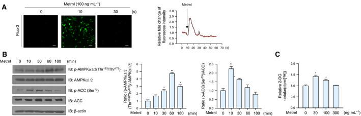 Metrnl regulated AMPK phosphorylation and glucose uptake in mouse primary myoblast cells. (A) For Ca 2+ detection, myoblasts were pre‐incubated with Fluo‐3 AM (5 μ m ) for 30 min. After metrnl treatment, the Ca 2+ response was measured using a confocal microscope. Scale bars, 100 μm ( n = 5). (B) Mouse primary myoblast cells were stimulated with metrnl for the indicated times. Cell lysates were analyzed by western blotting using antibodies against phospho‐AMPKα1/2(Thr 183 /Thr 172 ) and phospho‐ACC (Ser 79 ), with AMPKα1/2, ACC, and <t>β‐actin</t> as the controls. (C) Dose‐dependent glucose uptake with metrnl treatment. Primary myoblasts were differentiated into myotubes, incubated with metrnl at several concentrations for 1 h, and then assayed for glucose uptake. Results are displayed as the mean ± SEM of five experiments. * P