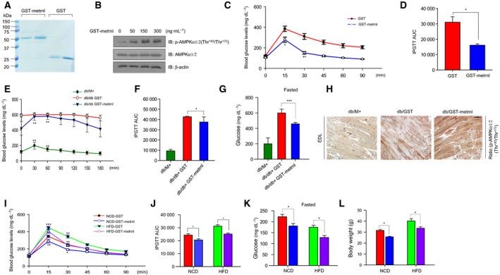 Metrnl improved glucose tolerance in mouse models. (A) Recombinant GST‐metrnl and GST proteins were isolated using glutathione beads. The beads were washed three times with washing buffer, eluted, and analyzed by SDS/PAGE and subsequent Coomassie staining. (B) C2C12 cells were treated with recombinant GST‐metrnl. Cell lysates were analyzed with western blotting using anti‐phospho‐AMPKα1/2(Thr 183 /Thr 172 ) antibody, with AMPKα1/2 and β‐actin as the controls. (C, D) Blood glucose concentrations and area under the curve (AUC) results for the glucose tolerance test (GTT) in C57BL/6 mice injected with recombinant GST‐metrnl or GST proteins. (E, F) Blood glucose concentrations and AUC results for the GTT in db/M + , db/db + GST, and db/db + GST‐metrnl mice. (G) Fasting glucose levels results for the GTT in db/M + , db/db + GST, and db/db + GST‐metrnl mice. The mice fasted for 12 h, and tail vein blood was used to measure in the blood glucose levels. (H) Representative images of immunohistochemical detection of p‐AMPKα1/2 (Thr 183 /Thr 172 ) in the extensor digitorum longus (EDL) muscles of db/M + , db/db + GST, and db/db + GST‐metrnl mice (scale bar = 100 μm). (I, J) Blood glucose concentrations and AUC results for the GTT in mice fed an HFD or NCD in NCD‐GST, NCD‐GST‐metrnl, HFD‐GST, and HFD‐GST‐metrnl. (K) Fasting glucose levels in mice fed an HFD or NCD in NCD‐GST, NCD‐GST‐metrnl, HFD‐GST, and HFD‐GST‐metrnl. The mice fasted for 12 h and tail vein blood was used to measure in the blood glucose levels. (L) Body weight of high‐fat‐diet‐induced obesity C57BL/6 mice. Groups were compared using analysis of variance (ANOVA) with Duncan's multiple range test. Results are displayed as the mean ± SEM of five experiments. * P