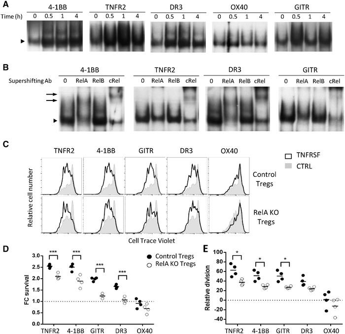 TNFRSF receptor costimulation activated the canonical NF‐κB pathway in Tregs. (A, B) Tregs, pre‐activated with anti‐CD3/CD28 mAbs for 24 h, were restimulated with TNFRSF agonists alone. The EMSA (A) was performed at 0, 0.5, 1, and 4 h of restimulation. The supershift (B) was performed at 0.5 h of restimulation to investigate the subset composition of the NF‐κB containing complex. Arrowheads indicate the position of the NF‐κB containing complex and arrows indicate the positions of the supershifting complexes bound to mAb specific to RelA and c‐Rel. A representative of three experiments is shown. Proliferation (C, D) and survival (E) of Rela KO and control Tregs, stimulated and analyzed as in Fig. 1 . One representative proliferation profile (C) and increased proliferation and FC living cell numbers relative to the control culture (D, E) from the pool of two independent experiments with two mice per experiment. Each circle represents a mouse (two‐way ANOVA, * p