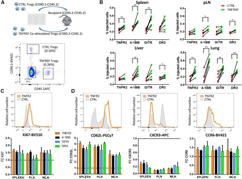 TNFRSF costimulation increased Treg in vivo expansion and modified Treg tissue recirculation. Tregs, preactivated for 3 days with anti‐CD3/CD28 mAbs alone (control Tregs) or combined with TNFRSF costimulation (co‐stimulated Tregs), were cotransferred in equal numbers to assess their in vivo homeostasis 7 days later. (A) Experimental design (upper panel) and representative plot showing cotransferred Tregs identified with congenic markers (lower panel). (B) Proportions of coinjected Tregs in spleen, peripheral lymph nodes (pLN), liver, and lung. Each dot is a mouse and lines connect cells from the same mouse. Unpaired Mann–Whitney test was used. (C, D) Ki67, CD62L, CXCR3, and CCR6 expression among injected cells. Upper panels show representative histograms for control and TNFR2 costimulated Tregs in the spleen. Lower panels show the mean (±SD) of FC MFI expression of costimulated compared to control Tregs in spleen, pLN, and mesenteric (MLN) LN. Data were obtained from two independent experiments with six mice per group in total. From 100 to 500 cells were analyzed per gated Tregs.