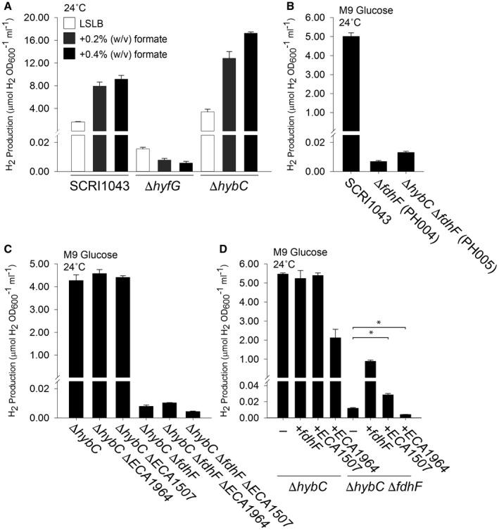 Hydrogen gas is produced by the activity of a selenium‐free formate dehydrogenase. A. Addition of exogenous formate increases H 2 production. P. atrosepticum parental strain SCRI1043 and mutants PH001 (Δ hyfG ) and PH002 (Δ hybC ) were incubated in low‐salt (5 g l –1 ) LB (LSLB) rich medium supplemented with 0.2% or 0.4% (w/v) formate at 24°C for 48 h. B. The formate dehydrogenase encoded within the gene cluster is responsible for FHL‐2 activity. Strains SCRI1043, PH004 (Δ fdhF ), PH005 (Δ hybC Δ fdhF ) were incubated in M9 medium supplemented with 0.8% (w/v) glucose at 24°C for 48 h. C. Alternative formate dehydrogenase homologues do not have a major role in H 2 production. Strains SCRI1043, PH002 (Δ hybC ), PH019 (Δ hybC Δ ECA1964 ), PH028 (Δ hybC Δ ECA1507 ) and PH005 (Δ hybC Δ fdhF ) were incubated in M9 medium supplemented with 0.8% (w/v) glucose at 24°C for 48 h. D. Complementation of the mutant phenotype in trans . Strains PH002 (Δ hybC ) and PH005 (Δ hybC Δ fdhF ) were separately transformed with plasmids encoding either FdhF, ECA1964 or ECA1507 under the control of constitutive promoters. In all cases, the levels of molecular H 2 in the culture headspace were quantified by GC and normalised to OD 600 and culture volume. Error bars represent SD ( n = 3). In panel (D) a one‐tailed t ‐test was used to determine statistical significance (* P