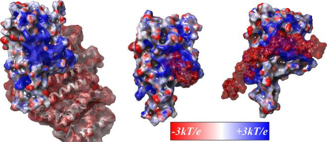 3 kT / e electrostatic potential (ESP) surfaces calculated for RBD associated with ACE2 (left), fondaparinux (middle), and dp20 (right). The ACE2/RBD structure (part of PDB 6M17( 28 )) shows ACE2 in a ribbon format with an ESP-mapped molecular surface. Both RBD/heparinoid complexes are representative structures from MD simulations; the heparinoids are shown in a ball-and-stick format with ESP-mapped molecular surfaces.