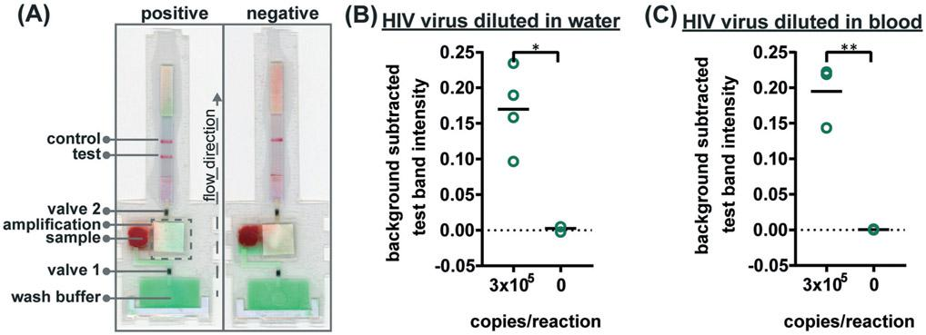 Detection of HIV virus diluted in whole blood on microRAAD with reagents dried for 21 days. (A) Representative μPADs imaged 90 minutes after blood (with and without HIV virus) deposited into microRAAD's sample inlet. After capillary migration of HIV from sample inlet to amplification zone and subsequent heating, the valves are automatically heated, releasing solution to LFIA for detection. As few as 3 × 10 5 HIV (B) osmotically lysed virus copies in rehydrating mix alone or (C) intact virus in rehydrating mix with 12 μL of blood are detectable by microRAAD prepared with RT-LAMP reagents dried for 21 days. n = 4 (B) and n = 3 (C), replicates indicated by each circle; ** indicates p ≤ 0.05 and ** indicates p ≤ 0.01.