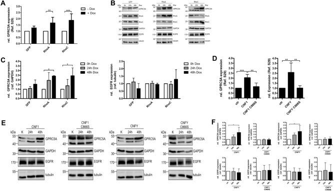 RhoA and RhoC induce the expression of GPRC5A. ( A ) GPRC5A mRNA level was measured by qRT-PCR following expression of RhoA, RhoC or GFP in MCF-10Atet cells (+ Dox) for 24 h. S29 was used as a housekeeping gene control. RNA levels after expression induction (+ Dox) were normalized to the untreated control (− Dox). Data of five independent experiments were quantified and analyzed using two-way ANOVA. ( B ) Representative Western Blot showing GPRC5A and EGFR protein levels following stimulation of RhoA, RhoC and GFP expressing MCF-10Atet cells for 0, 24 or 48 h with doxycycline (Dox). GAPDH and tubulin served as loading controls, respectively. Note that high expression of RhoC leads to decreased expression of RhoA, which has been described earlier 8 . ( C ) Quantification of B. GPRC5A protein level was normalized to GAPDH (left), EGFR protein level was normalized to tubulin (right). Data of three independent experiments were quantified and analyzed using two-way ANOVA. ( D ) GPRC5A mRNA level was measured by qRT-PCR after intoxication of MCF10A wild-type cells for 24 h with CNF1, CNF1 C866S, CNFY or CNFY C865S, respectively. S29 was used as a housekeeping gene control. RNA levels were normalized to the untreated (utr) control. Data of five independent experiments were quantified and analyzed using one-way-ANOVA. ( E ) Representative Western Blot (n = 3) showing GPRC5A and EGFR protein levels after intoxication with CNF1, CNF1 C866S, CNFY or CNFY C865S for 0, 24 or 48 h. GAPDH and tubulin served as loading controls. ( F ) Quantification of E. GPRC5A protein level was normalized to GAPDH (top), EGFR protein level was normalized to tubulin (bottom). The treatment with CNF1 and CNFY for two days GPRC5A expression was increased but the EGFR level was not affected. Data of three independent experiments were quantified and analyzed using one-way ANOVA. *p
