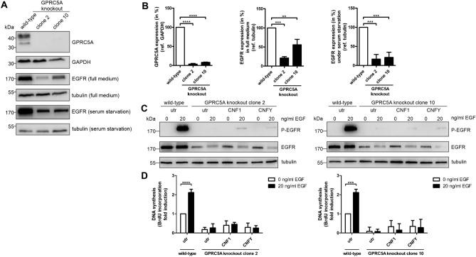 Knockout of GPRC5A in MCF10A cells inhibits EGF-dependent proliferation due to downregulation of EGFR. ( A ) Western Blot analysis of MCF10A wild-type and knockout cells in full medium and under serum starvation, respectively. GAPDH and tubulin were used as a loading controls. Representative Western Blot of three independent experiments are shown. ( B ) Quantification of A. GPRC5A expression was normalized to GAPDH, EGFR expression to tubulin. Data of three independent experiments were analyzed using one-way ANOVA. **p