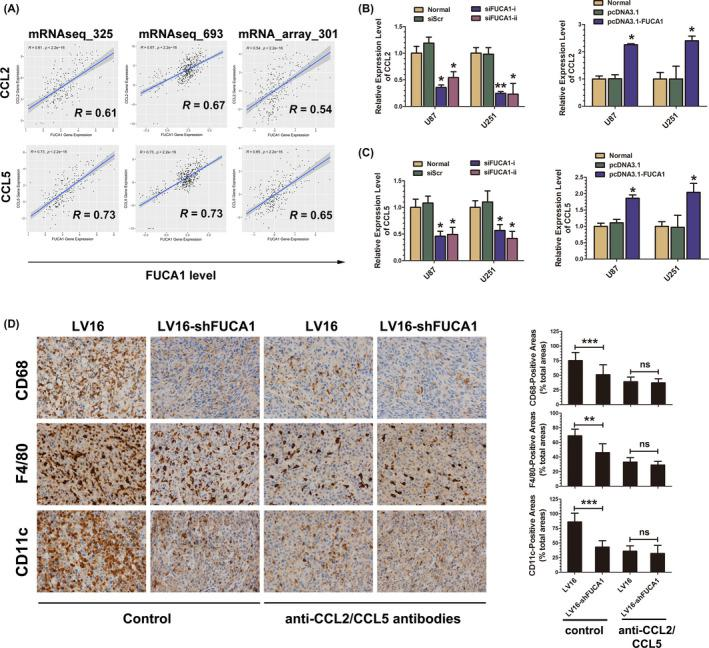 Silencing α‐l‐fucosidase 1 (FUCA1) inhibits macrophage infiltration by downregulating CCL2/CCL5 expression. A, Correlation between FUCA1 and CCL2/CCL5 in 3 Chinese Glioma Genome Atlas datasets. B, C, Quantitative RT‐PCR analyses for CCL2 (B) and CCL5 (C) expression in U87 and U251 cells transfected with siFUCA1 or pcDNA3.1‐FUCA1 for 24 h. Data are mean ± SD. * P