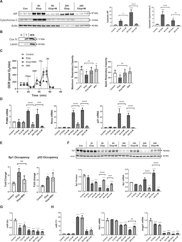 Mithramycin reduces etoposide-induced mitochondrial damage and attenuates p53-dependent transcription. RCNs were treated with 50 µM etoposide +/−200 nM Mithramycin for all panels. a The cytosolic fraction was collected after 6h and 24 h. Controls were collected at 24h. Equal amounts of fraction lysates were loaded onto an SDS-polyacrylamide gel and after electrophoretic separation and transfer to a membrane were incubated with antibodies against AIF and <t>cytochrome</t> C proteins. Protein levels (of bands indicated by arrows) were quantified by densitometry, normalized to β-actin signal and are presented as normalized fold change compared with control levels. n = 3/group for all groups. b Cytoplasmic (C), total (T), and nuclear/mitochondrial (N/M) fractions were pooled and probed for cytochrome c oxidase IV (COX IV) and Lamin to confirm purity of cytoplasmic fraction from mitochondria and nuclei, respectively. c 6h after treatments, cellular respiration was measured using a Seahorse XF24 Extracellular Flux Analyzer, and a representative measurement is shown here. Sequential addition of oligomycin, DNP, pyruvate and antimycin A was utilized to identify maximum and spare respiratory capacity ( c ). Each group contains n = 4 averages from separate experiments on different days, each experiment except one contained n = 4+ separately cultured wells of neurons per group (that experiment contained wells that were eliminated due to no significant increase in OCR over baseline indicating a failed injection/port, n = 3+/group for that experiment). d , f – h After 1, 6, or 24h, cells were harvested. Equal amounts of purified RNA were converted into cDNA. Equal volumes of cDNA were loaded for qPCR. mRNA/miRNA levels were normalized via U6/GAPDH (respectively), quantified using the ddCt method and are presented as fold change compared with control levels. n = 3/group for all groups. e Chromatin Immunoprecipitation was done using p53 or Sp1 antibodies, and equal volumes of resu