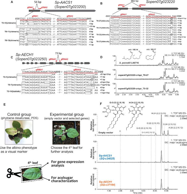 Functional analysis of AACS1 and AECH1 in S. pennellii and S. quitoense via CRISPR-Cas9 system and VIGS, respectively. The design of gRNAs targeting wild tomato S. pennellii LA0716 Sp-AACS1 ( A ), Sopen07g023250 ( B ), and Sp-AECH1 ( C ) is highlighted with red lines and text. The transgenic T0 generation carrying chimeric or biallelic gene edits are shown beneath the gene model. DNA sequence of the gene edits was obtained through Sanger sequencing of cloned plant DNA fragments. The gene edits are highlighted with dotted rectangular boxes. ( D ) ESI + mode, LC/MS extracted ion chromatograms shown for C10 ( m/z : 155.14) and C12 ( m/z : 183.17) fatty acid ions corresponding to medium chain trichome acylsugars extracted from the CRISPR mutants sopen07g023220 and the S. pennellii LA0716 parent. ( E ) Experimental design of VIGS in S. quitoense . A control group silencing the PDS genes was performed in parallel with the experimental groups. The onset of the albino phenotype of the control group was used as a visual marker to determine the harvest time and leaf selection in the experimental groups. The fourth true leaves were harvested and cut in half for gene expression analysis and acylsugar quantification, respectively. ( F ) ESI - mode, LC/MS extracted ion chromatograms of six major acylsugars of S. quitoense for the experimental group. The three LC/MS chromatograms show representative acylsugar profiles of the empty vector control plants and the VIGS plants targeting Sq-AACS1 and Sq-AECH1 .