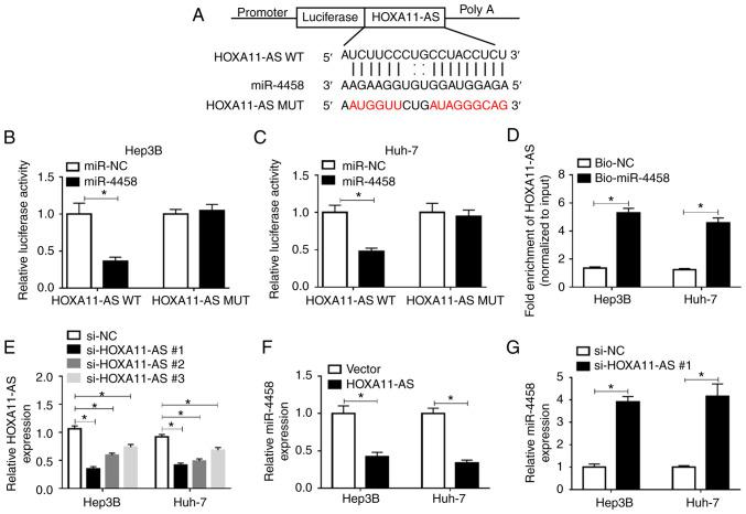 HOXA11-AS negatively regulates miR-4458 expression via direct targeting in HCC cells. (A) Putative binding sites between HOXA11-AS and miR-4458 were predicted using starBase 2.0. <t>Luciferase</t> activity in HOXA11-AS WT or HOXA11-AS MUT and miR-4458 or miR-NC co-transfected (B) Hep3B and (C) Huh-7 cells was detected via <t>dual-luciferase</t> <t>reporter</t> <t>assay.</t> (D) RNA pull-down assay was conducted to assess the interaction between HOXA11-AS and miR-4458, and the expression of HOXA11-AS was detected using RT-qPCR after Bio-miR-4458 or Bio-NC was transfected into Hep3B and Huh-7 cells. (E) Expression of HOXA11-AS in Hep3B and Huh-7 cells transfected with si-NC, si-HOXA11-AS#1, si-HOXA11-AS#2 or si-HOXA11-AS#3 was determined via RT-qPCR. (F) Expression of miR-4458 in Hep3B and Huh-7 cells transfected with Vector or HOXA11-AS was determined via RT-qPCR. (G) Expression of miR-4458 in Hep3B and Huh-7 cells transfected with si-NC or si-HOXA11-AS#1 was measured using RT-qPCR. Experiments were repeated three times. * P