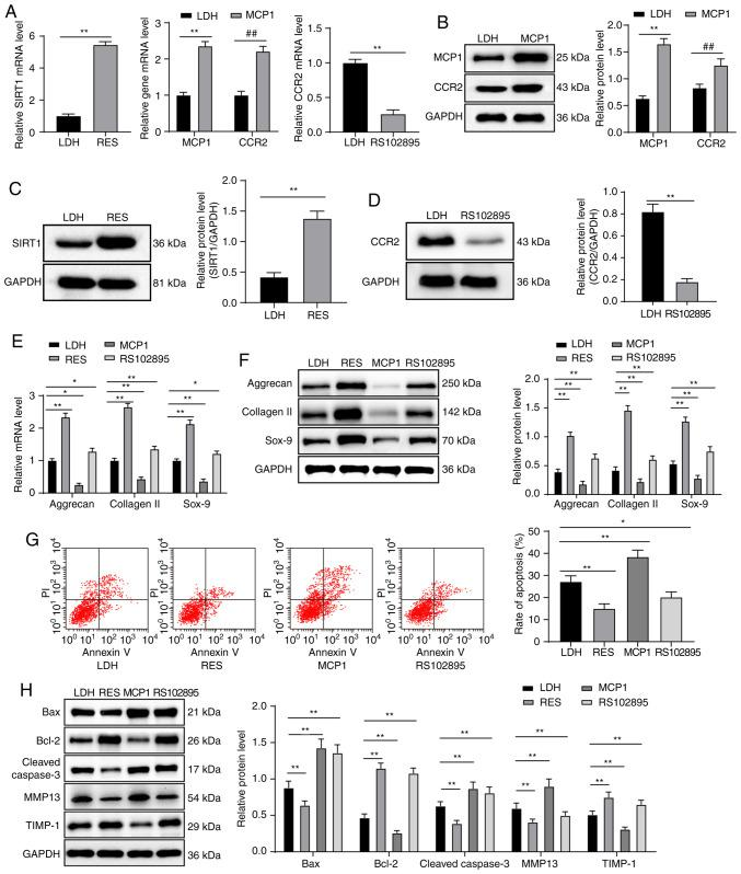 Overexpression of SIRT1 and downregulation of the MCP1/CCR2 axis increases NPMSC cartilage differentiation and inhibits NPMSC apoptosis. (A-D) According to RT-qPCR and western blot analyses, the RES group displayed increased mRNA and protein expression of SIRT1, the MCP1 group exhibited increased mRNA and protein expression of MCP1 and CCR2, and the RS102895 group presented decreased mRNA and protein expression of CCR2 compared with the LDH group. (E and F) Compared with the LDH group, the RES and RS102895 groups displayed increased mRNA and protein expression of aggrecan, collagen II and Sox-9, and the MCP1 group exhibited decreased mRNA and protein expression of aggrecan, collagen II and Sox-9, as shown by the results of RT-qPCR and western blot analyses. (G) According to the flow cytometry results, apoptosis was decreased in the RES and RS102895 groups but increased in the MCP1 group compared with the LDH group. (H) Western blot analysis showed decreased expression levels of Bax, cleaved caspase-3 and TIMP-1 and increased levels of Bcl-2 and MMP13 in the RES and RS102895 groups compared with the LDH group; the opposite results were observed in the MCP1 group. Data in panels A, C, D and E were analyzed using t tests, data in panels A, B, E, F and H were analyzed using two-way ANOVA, and data in panel G were analyzed using one-way ANOVA. Tukey's multiple comparisons test was applied as the post hoc test. n=3. * P