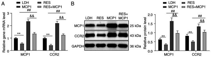 Overexpression of SIRT1 downregulates the MCP1/CCR2 axis. According to (A) RT-qPCR and (B) western blot analyses, increased mRNA and protein expression of MCP1 and CCR2 were observed in the RES group, and higher mRNA and protein expression of MCP1 and CCR2 were observed in the RES + MCP1 group compared with in the RES group, but the levels were lower than those of the MCP1 group. Two-way ANOVA, followed by Tukey's multiple comparisons test as the post hoc test, were used to determine statistical significance. n=3. ** P