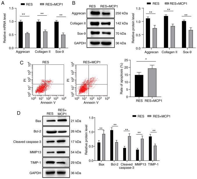 MCP1 reverses the progression of NPMSC cartilage differentiation and the inhibition of NPMSC apoptosis induced by SIRT1 overexpression. (A-D) Compared with the RES group, the RES + MCP1 group displayed decreased mRNA and protein expression levels of aggrecan, collagen II and Sox-9, lower levels of cell apoptosis, decreased protein expression of Bcl-2 and TIMP-1, and increased protein expression of Bax, cleaved caspase-3 and MMP13, based on the results of (A) RT-qPCR, (B and D) western blotting and (C) flow cytometry. Data in panel C were analyzed using a t test; data in panels A, B and D were analyzed using two-way ANOVA. Tukey's multiple comparisons test was applied as the post hoc test. n=3. * P