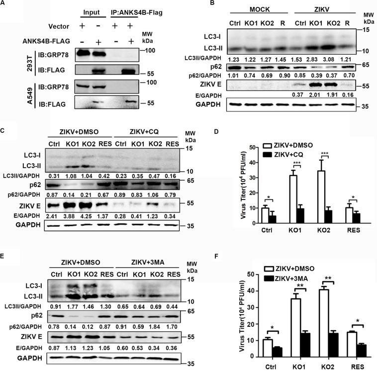 The antiviral effect of ANKS4B was exerted through inhibiting the autophagy. (A) Co-IP assay. A549 and 293T cells were co-transfected with plasmids expressing ANKS4B-FLAG protein and GRP78. Whole cell extracts were prepared for Co-IP assay using anti-FLAG. (B) Control, ANKS4B-KO1, ANKS4B-KO2, and ANKS4B-RES (R) Huh7 cells were infected with ZIKV (MOI 3). Cell lysates were prepared at 24 h p.i for western blot to detect the expression levels of ZIKV E protein, LC3B, and <t>p62.</t> (C–F) Autophagy inhibitor assay. Control, ANKS4B-KO1, ANKS4B-KO2, and ANKS4B-RES cells were treated with DMSO or chloroquine (CQ, 50 μM) or 3-methyladenine (3-MA, 5 mM) after ZIKV inoculation. At 24 h p.i., cells and supernatants were harvested for western blot (C,E) or plaque assay (D,F) . Levels of p62, ZIKV E, and GAPDH were measured. All the data were shown as means ± S.D. (error bars) from at least three independent experiments. NS, not significant. * p