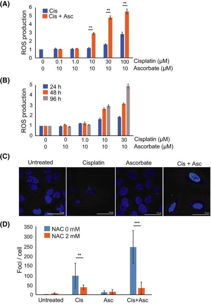 Ascorbate enhances ROS production in osteosarcoma cells. A, ROS levels in U2OS cells treated with cisplatin (0‐100 µmol/L) and ascorbate (10 µmol/L) for 96 h as measured by flow cytometry. Intracellular ROS levels were determined by measuring the mean fluorescence intensity (MFI) of DHE‐positive cells. MFI in the treated cells was expressed relative to MFI of the untreated cells (set at 1). B, ROS levels in U2OS cells measured by flow cytometry, 24, 48, and 96 h after treatment with cisplatin (0‐30 µmol/L) and ascorbate (10 µmol/L). MFI in the treated cells was expressed relative to MFI of the untreated cells (set at 1). C, U2OS cells were treated with cisplatin (10 µmol/L) and/or ascorbate (10 µmol/L) in the presence or absence of ROS scavenger NAC (2 mmol/L), 96 h after treatment and the number of γH2AX dots was counted. D, Immunostaining of γH2AX (green) and DAPI (blue). The data represent the mean ± SD of triplicate samples from three independent experiments. * P
