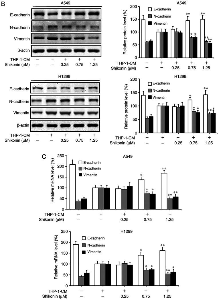 Shikonin suppresses THP-1-CM-induced epithelial-mesenchymal transition (EMT) in A549 and H1299 cells. (A) Immunofluorescence was used to visualize the protein expression levels of E-cadherin, N-cadherin and vimentin after treatment with THP-1-CM and/or shikonin for 24 h. Left, representative immunofluorescence images of E-cadherin, N-cadherin and vimentin (magnification ×800). Right, quantitative image analysis of the signal intensity of E-cadherin, N-cadherin and vimentin. (B) Western blot assays were used to detect the protein expression levels of E-cadherin, N-cadherin and vimentin after treatment with THP-1-CM and/or shikonin for 24 h. (C) Real-time PCR was used to detect the mRNA levels of E-cadherin, N-cadherin and vimentin after treatment with THP-1-CM and/or shikonin for 24 h. β-actin was used as an internal control. Data are shown as the mean ± SD of three independent experiments. *P