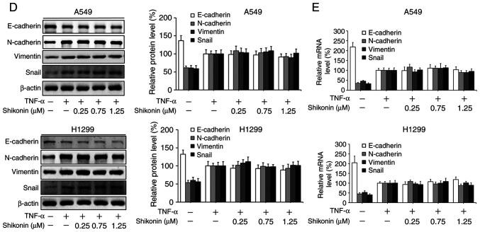 Effects of shikonin on the migration and epithelial-mesenchymal transition (EMT) of A549 and H1299 cells induced by IL-6 and TNF-α. (A) Transwell chamber migration assay. After treatment with shikonin and IL-6 (50 ng/ml) or TNF-α (20 ng/ml) for 24 h, A549 and H1299 cell suspensions were subjected to a Transwell chamber migration assay. (B) Western blot and (C) real-time PCR assays were used to detect the protein and mRNA levels of E-cadherin, N-cadherin, vimentin and Snail in A549 and H1299 cells after treatment with shikonin and IL-6 (50 ng/ml) for 24 h. (D) Western blot and (E) real-time PCR assays were used to detect the protein and mRNA levels of E-cadherin, N-cadherin, vimentin and Snail in A549 and H1299 cells after treatment with shikonin and TNF-α (20 ng/ml) for 24 h. β-actin was used as an internal control. Data are shown as the mean ± SD of three independent experiments. *P