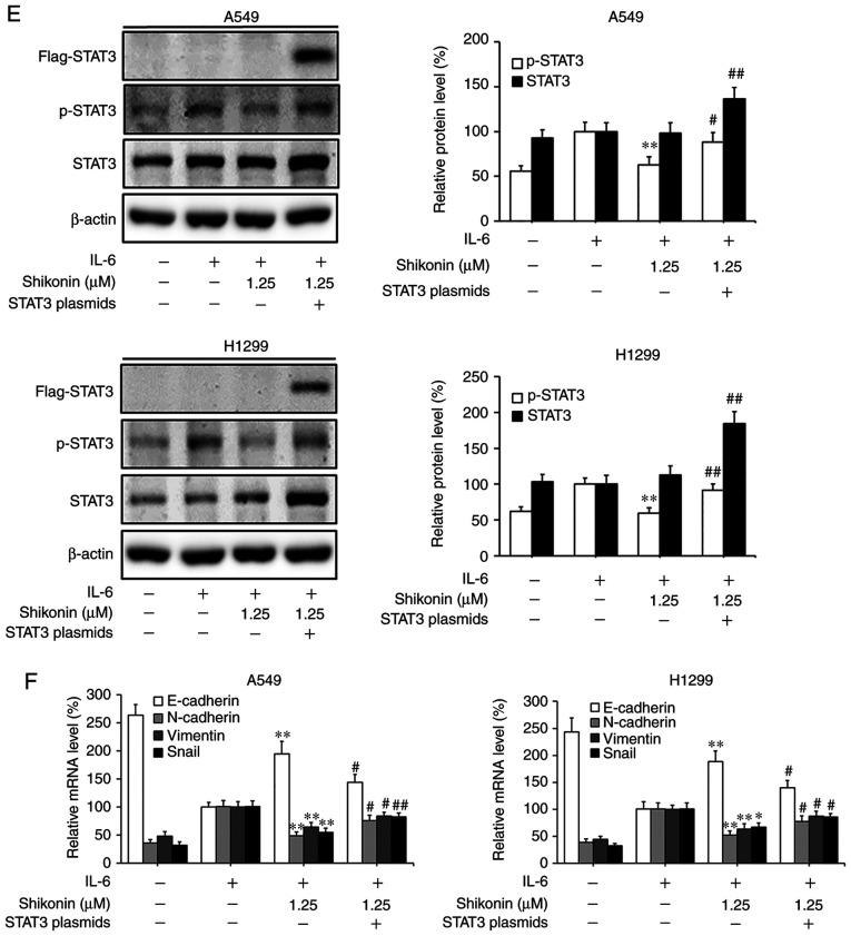 Effects of shikonin on IL-6-induced STAT3 activation in A549 and H1299 cells. (A) Expression levels of phosphorylated (p)-STAT3 and STAT3 were detected by western blotting after treatment with shikonin and IL-6 (50 ng/ml) for 24 h. Protein expression levels were semi-quantified by densitometric analysis. *P