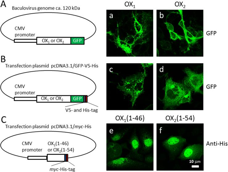 Three different vector constructs used to express OX 1 and OX 2 receptor fusion and deletion proteins. (A) OX 1 -GFP and OX 2 -GFP, under a CMV promoter, were expressed in HuH7 cells using a baculovirus-mediated gene delivery method. Panels a and b show the cellular expression pattern of OX 1 -GFP and OX 2 -GFP, respectively, in HuH7 cells. (B) OX 1 -GFP-V5-His and OX 2 -GFP-V5-His, under the CMV promoter in the pcDNA3.1 expression vector, were transiently transfected into HuH7 cells. Panels c and d show the expression pattern of OX 1 -GFP-V5-His and OX 2 -GFP-V5-His in HuH7 cells, respectively. (C) The N-termini of the OX 1 and OX 2 receptors, fused to the myc and His tags, were transiently transfected into HuH7 cells. Panels e and f show the intracellular location and expression pattern of the N-termini of OX 1 and OX 2 receptors, respectively, in HuH7 cells. The calibration bar applies to all images.