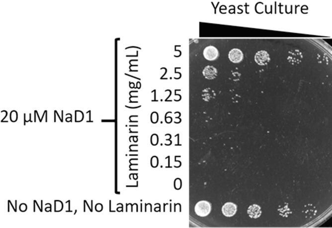 Exogenous 1,3-β-glucan protects yeast cells against the antifungal activity of NaD1. Yeast were treated with 20 µM NaD1 in the presence of a range of concentrations of laminarin, a soluble form of 1,3-β-glucan, for 1 h before a dilution series from each treatment was plated on YPD agar. In the absence of laminarin there are no viable cells remaining. At concentrations of 1.25 mg/mL and above laminarin had a protective effect against NaD1 as indicated by the presence of viable yeast cells.