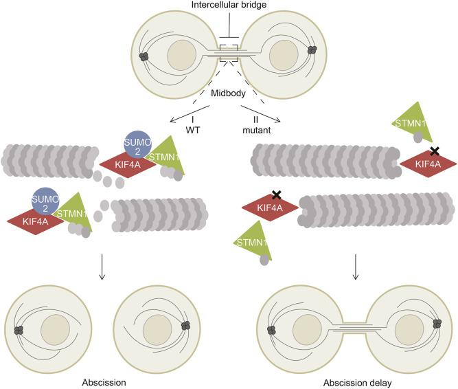 Model of how SUMOylation of KIF4A enhances binding to MT destabilizer <t>STMN1</t> and promotes abscission. Cartoon depicting the intercellular bridge between the newly formed daughter cells during cytokinesis. (I) In cells expressing wild-type KIF4A, SUMOylation of KIF4A enhances its binding to STMN1 at the midbody. Subsequently, MT destabilization by STMN1 is promoted, which results in abscission and thereby completion of the final step of cell division. (II) Blocking KIF4A SUMOylation reduces STMN1 binding. Consequently, this results in reduced MT destabilization by STMN1 at the midbody and ensuing delay in abscission.