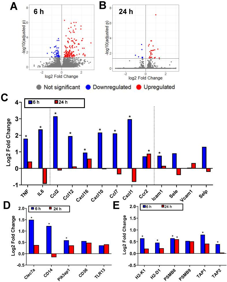 Bulk RNA sequencing reveals that FUS+MBs mediated BBB/BTB opening elicits increased proinflammatory gene expression. A,B: Volcano plots showing significantly upregulated and downregulated genes in FUS+MBs treated tumors compared to sham at (A) 6 and (B) 24 h post treatment. C,D,E: Log2 fold change of FUS+MBs treated vs. sham tumors at 6 hours and 24 hours post treatment. Data is displayed for selected mRNA transcripts related to (C) inflammatory cytokines, chemokines, and vascular cell adhesion molecules (D) pattern recognition receptors and signaling molecules and (E) MHC class I antigen presentation and processing. *adj p