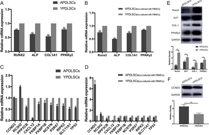 Age-related changes in the expression of genes and proteins of PDLSCs from different age groups. a , c <t>qRT-PCR</t> analysis showed that compared with YPDLSCs, CCND3 and RC3H2 mRNA expression in APDLSCs were upregulated, whereas Runx2, ALP, COL1A1, PPARγ2, PPP3CB, CXCL12, FKBP1A, FKBP1B, NCSTN, P2RX7, RIPK2, SLC11A1, and TP53 mRNA expression levels were downregulated. b , d qRT-PCR analysis showed that compared with YPDLSCs (co-cultured with PBMCs), the expression of CCND3 and RC3H2 in APDLSCs (co-cultured with PBMCs) increased, whereas the expression of Runx2, ALP, COL1A1, PPARγ2, PPP3CB, CXCL12, FKBP1A, FKBP1B, NCSTN, P2RX7, RIPK2, SLC11A1, and TP53 decreased. e , f Western blot analysis showed that the protein expression levels of Runx2, ALP, COL1A1, and PPARγ2 in APDLSCs were lower than YPDLSCs, whereas those of CCND3 in APDLSCs was higher than YPDLSCs. The young group had three independent donors, and the adult group had three independent donors. Data are presented as mean ± SD of three independent experiments (* p
