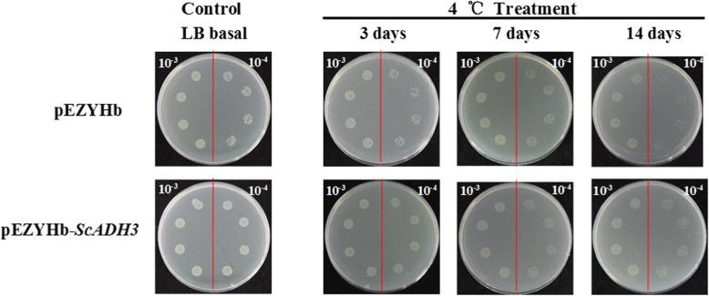 Spot assays used for monitoring the growth performance of <t>BL21/pEZYHb</t> and BL21/pEZYHb- ScADH3 transformed E. coli cells on LB plates under cold stress. The growth performance of BL21/pEZYHb and BL21/ pEZYHb- ScADH3 cells on LB plates without supplements or stresses were used as controls. After spotting the sample on LB agar plates, incubation at 4 °C in darkness for 3 days, 7 days, and 14 days was used to study the tolerance of BL21/pEZYHb and BL21/ pEZYHb- ScADH3 cells under cold stress