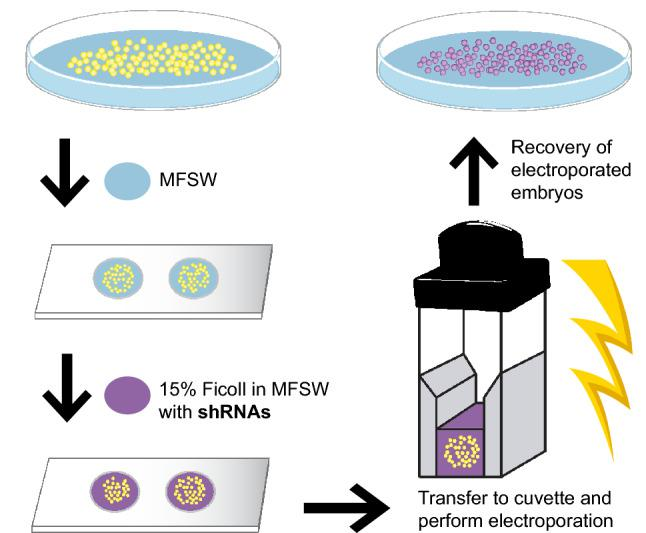 Overview of the shRNA electroporation procedure for H. symbiolongicarpus embryos. One-cell stage embryos are collected in a petri dish and transferred in a small volume of Millipore-filtered seawater (MFSW—blue) into wells of a depression slide. MFSW in each well is removed and replaced by 100 μl of the electroporation solution, consisting of 15% <t>Ficoll-400</t> in MFSW containing the shRNAs (purple). The embryos in the electroporation solution are then transferred into an electroporation cuvette. The cuvette is placed inside the safety stand of the ECM 830 Square wave electroporation system (BTX) and electroporation of the embryos with the chosen parameters is carried out. Electroporated embryos are then carefully transferred to a petri dish with MFSW for their recovery and future phenotypic analyses. A detailed protocol can be found in Supplementary Info S1 .