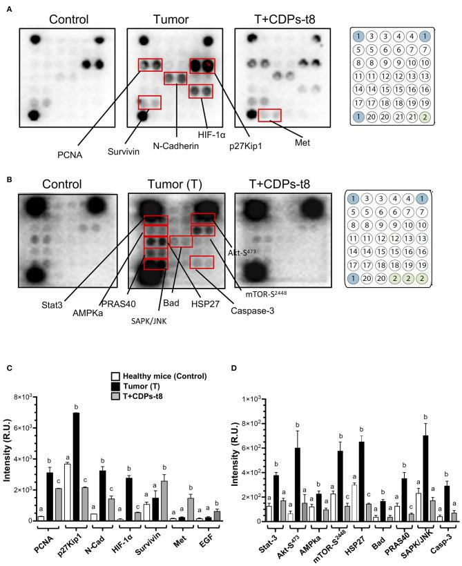 Proteomic analysis of CDPs effect on xenografted tumor melanoma B16-F0 cells in mice. Tumors or healthy skin were homogenized to obtain the tissue lysates used for Western blot assays as described in Materials and Methods. (A) Representative images correspond to antibody microarrays (PathScan Cancer Phenotype Antibody Array). The arrays contained the following antibodies: (1) positive control, (2) negative control, (3) CD31, (4) EpCAM, (5) vimentin, (6) CD44, (7) CD45, (8) PCNA, (9) Ki-67, (10) p27Kip1, (11) E-cadherin, (12) N-cadherin, (13) VE-cadherin, (14) MUC1, (15) Rb Ser807/811, (16) HIF-1α, (17) survivin, (18) P53, (19) HER2/ErbB2, (20) Met, (21) EGF. (B) Representative images correspond to antibody micro-arrays (PathScan Intracellular Signaling Array). The arrays contained the following antibodies: (1) positive control, (2) negative control, (3) ERK1/2-Thr202/Tyr204, (4) Stat1-Tyr701, (5) Stat3-Tyr705, (6) Akt-Thr308, (7) Akt-Ser473, (8) AMPKα-Thr172, (9) S6 Ribosomal Protein-Ser235/236, (10) mTOR-Ser2448, (11) HSP27-Ser78, (12) Bad-Ser112, (13) p70S6 Kinase-Thr389, (14) PRAS40-Thr246, (15) p53-Ser15, (16) p38-Thr180/Tyr182, (17) SAPK/JNK-Thr183/Tyr185, (18) PARP-Asp214, (19) caspase-3–Asp175, (20) GSK-3β-Ser9. Proteins that showed differences in expression/phosphorylation levels compared to the control protein extract are indicated. (C,D) Determination of signal intensity of spots from microarrays ( A,B , respectively), was conducted by densitometry using ImageJ software (NIH). Data represent the means ± SE of at two independent assays with spot duplication for each antibody, using protein extracts obtained from at least three tumors of each mouse group. Bars represent means ± SE of four densitometry determinations. One-way ANOVA was carried out, with Bonferroni post-hoc test; statistical significance ( P