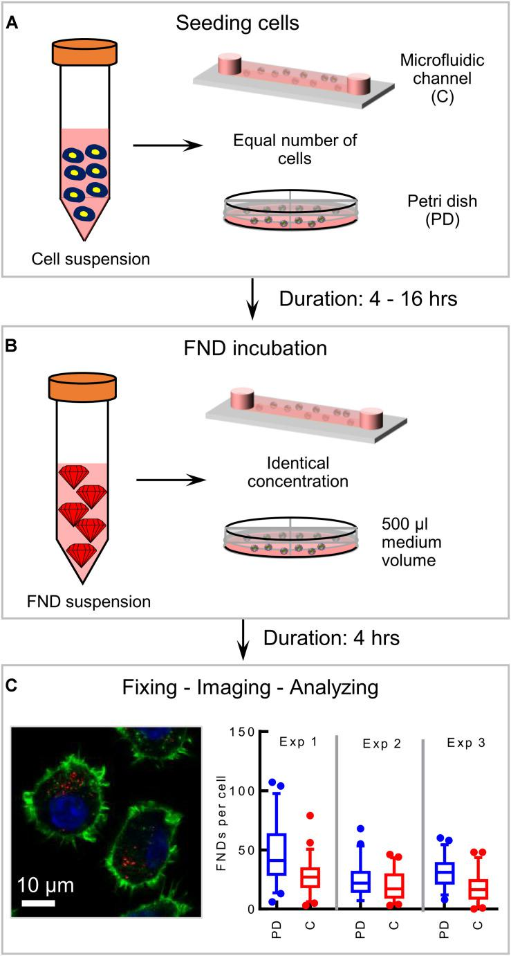 Schematic of the experimental methodology. (A) Seeding equal number of cells in the microfluidic device and the petri dish and allowing cells 4–16 h to attach to the glass bottom of the device. (B) FND suspension incubation for 4 h. (C) Fixed and stained macrophages are imaged in a laser scanning confocal microscope. Red dots in the image are FNDs where nucleus and cytoskeleton are indicated with blue and green color respectively. In every experiment, FNDs/cell are quantified in 50 cells per group. Each experiment is repeated three independent times.