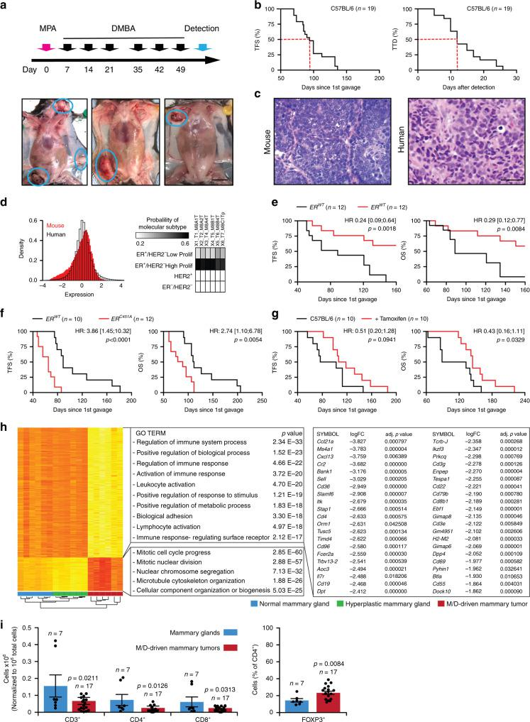 M/D-driven tumors recapitulate key features of human HR + breast cancer. a Schedule of oncogenic challenges for the induction of M/D-driven tumors and representative images of M/D-driven tumors established in WT C57BL/6 mice. Scale bar = 1 cm. b Tumor-free survival (TFS) and time-to-death (TTD) in WT C57BL/6 mice subjected to M/D-driven oncogenesis. Number of mice is reported. c Representative histology of M/D-driven tumors as compared to human HR + breast cancers. Scale bar = 50 µm. d Probeset distribution comparing the transcriptomic profile of 6 M/D-driven mammary tumors established in C57BL/6 mice with that of human breast cancers from the TCGA public database. Probability of molecular subtyping is reported for each mouse tumors. e , f TFS and overall survival (OS) of WT C57BL/6 mice and C57BL/6 bearing ER mutations that cause nuclear exclusion ( e ) or nuclear accumulation ( f ) subjected to M/D-driven oncogenesis. Number of mice, hazard ratio (HR) and p values (two-sided log-rank) are reported. g TFS and OS of WT C57BL/6 mice subjected to M/D-driven oncogenesis in control conditions or along with tamoxifen administration in the drinking water. Number of mice, HR and p values (two-sided log-rank) are reported. h . Non-supervised hierarchical clustering of the transcriptomic profile of M/D-driven tumors established in WT C57BL/6 mice ( n = 6), mammary glands exposed to M/D but not developing tumors ( n = 6) and M/D-naïve mammary glands ( n = 6). Gene Ontology analysis, fold change (FC) and adjusted, two-sided p values are reported. Red, upregulation. Yellow, downregulation. i Relative amount of CD3 + , CD8 + , CD4 + and CD25 + FOXP3 + cells infiltrating M/D-driven tumors in C57BL/6 mice vs syngeneic M/D-naïve mammary glands. Results are means ± SEM plus individual data points. Number of mice and p values (unpaired, two-sided Student's t , as compared to M/D-naïve mammary glands) are reported.